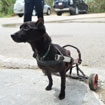 Paralyzed dog needs your help to get a new wheelchair
